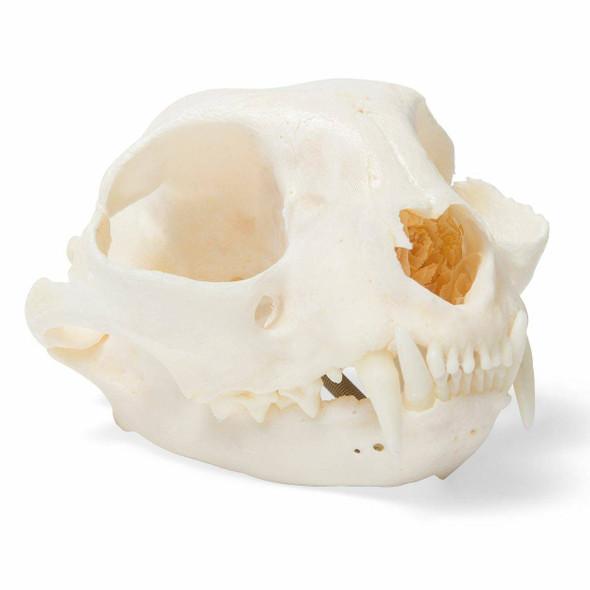 Cat Skull Natural Specimen Anatomy Model, Articulated