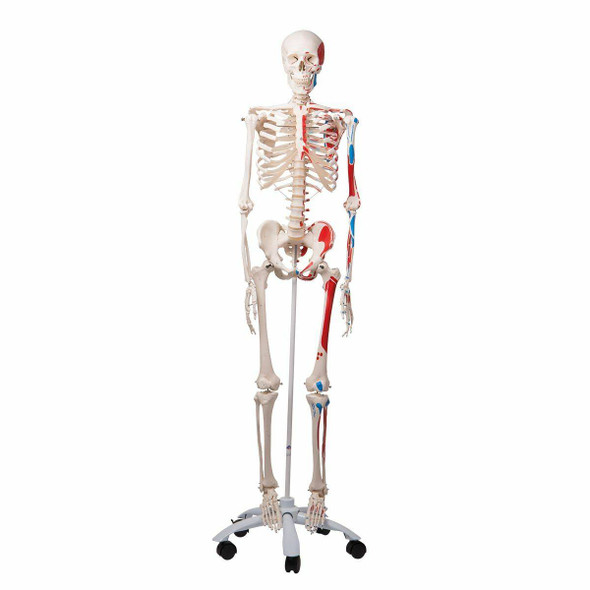 Max The Muscle Skeleton Anatomy Model