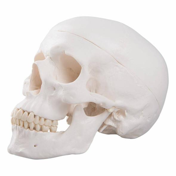 Classic Human Skull Anatomy Model 3 Parts 1
