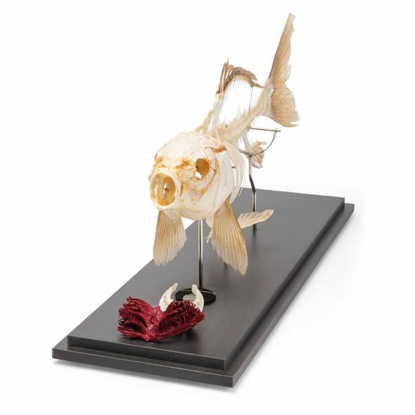Carp Skeleton Natural Specimen Anatomy Model, Articulated 1