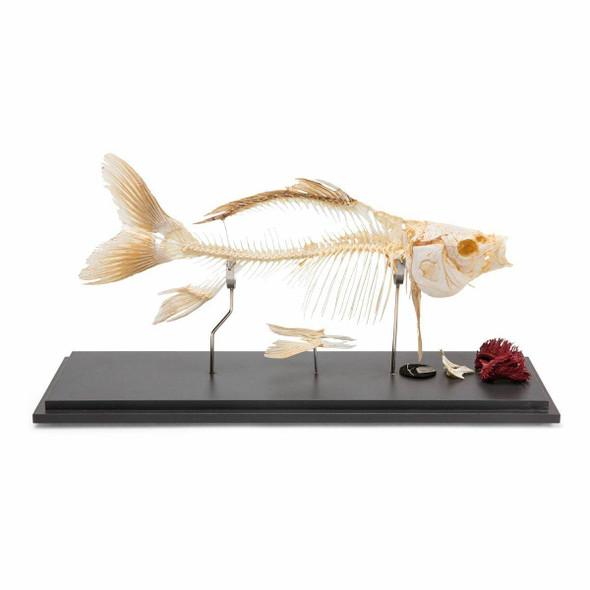 Carp Skeleton Natural Specimen Anatomy Model, Articulated
