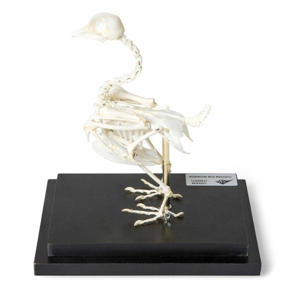 Pigeon Skeleton Natural Specimen Anatomy Model, Articulated on Base 1