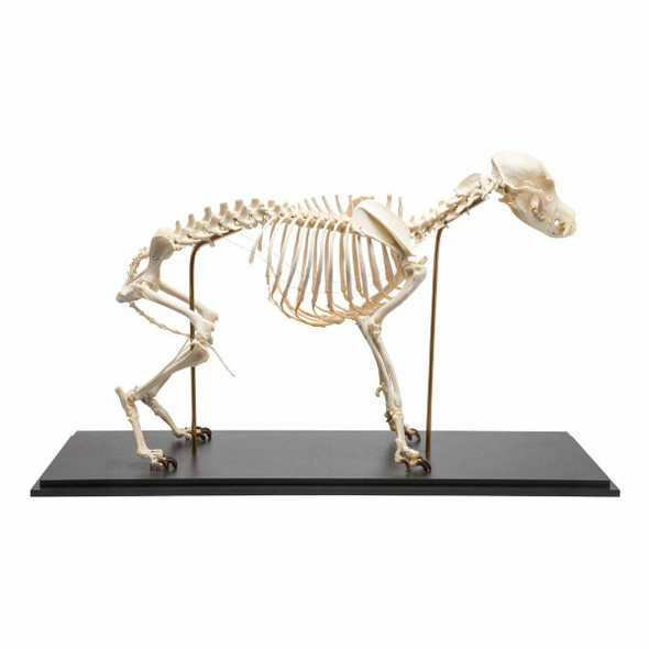 Dog Skeleton Anatomy Model On Wood Base