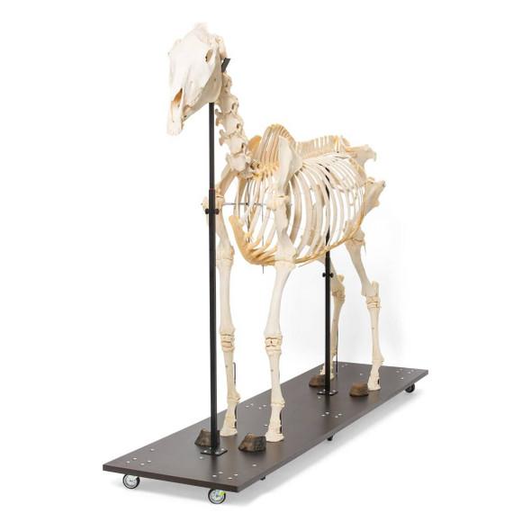 Horse Skeleton Anatomy Model on Wood Base 1