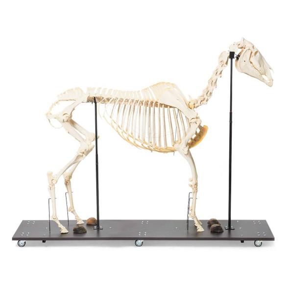 Horse Skeleton Anatomy Model on Wood Base
