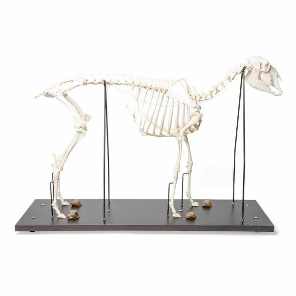 Sheep Skeleton Anatomy Model On Wood Base