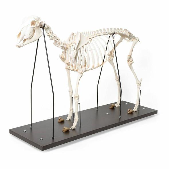 Sheep Skeleton Anatomy Model On Wood Base 1