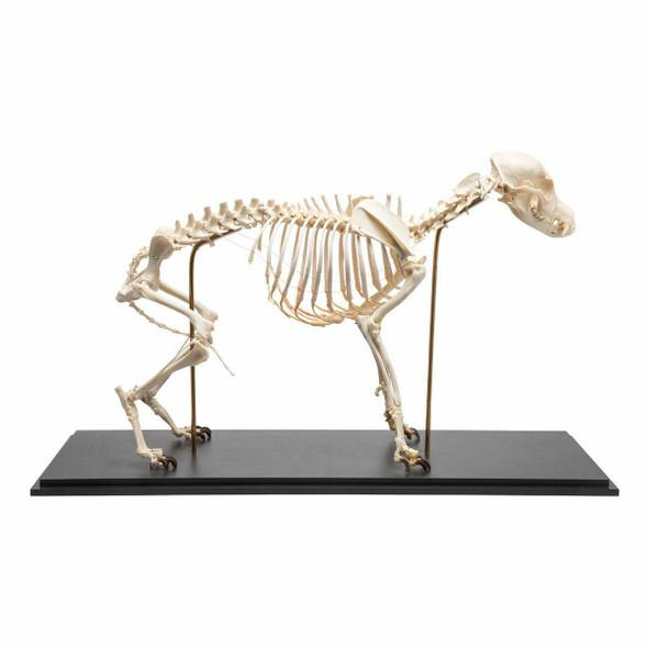Dog Skeleton Flexibly Mounted Anatomy Model on Wood Base