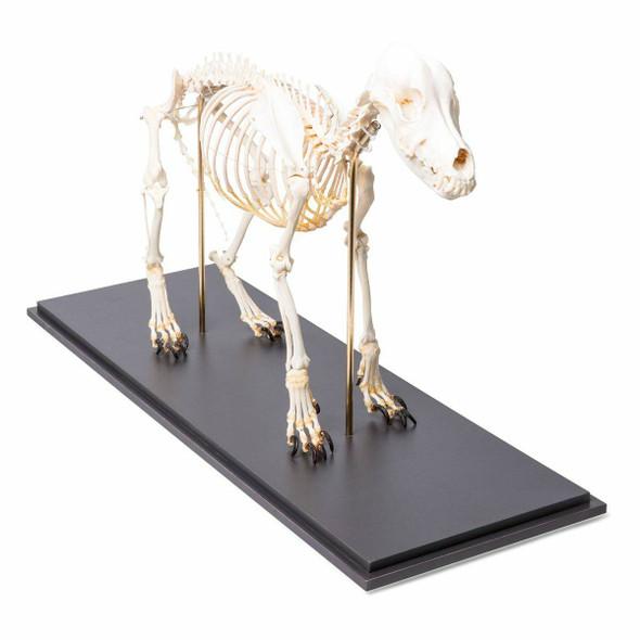 Dog Skeleton Flexibly Mounted Anatomy Model on Wood Base 1