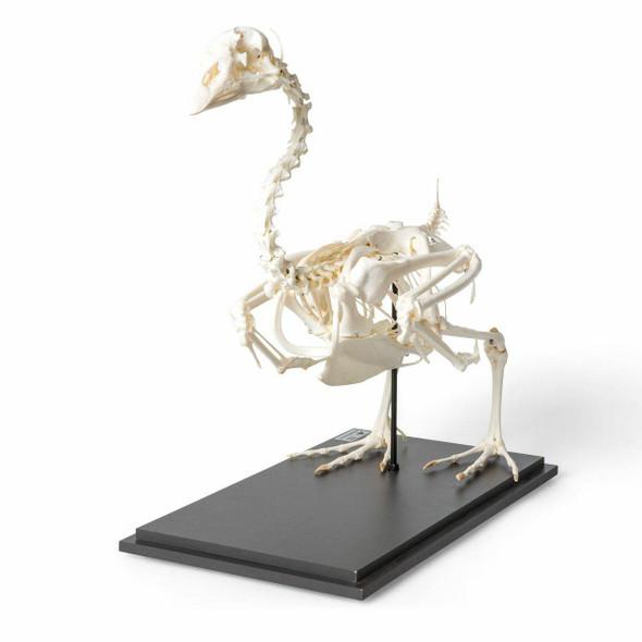 Goose Skeleton Natural Specimen Anatomy Model, Articulated 1
