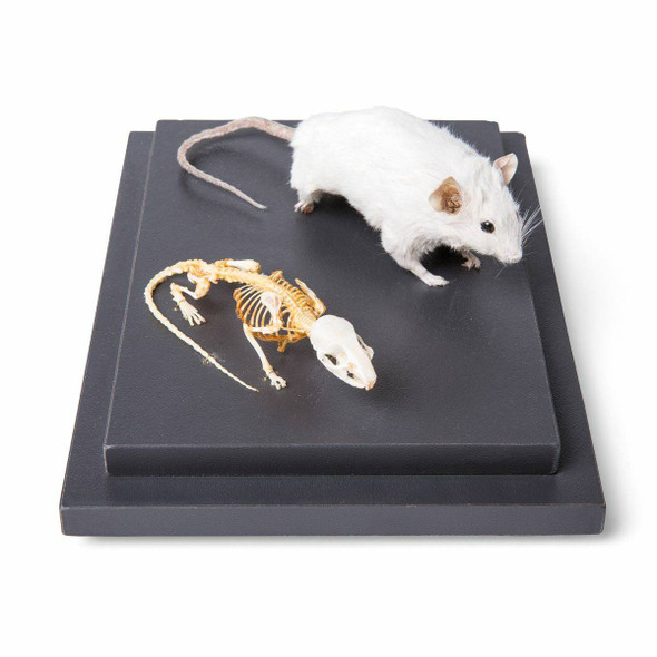 Mouse Skeleton and Stuffed Mouse Natural Specimen Anatomy Model, In Showcase