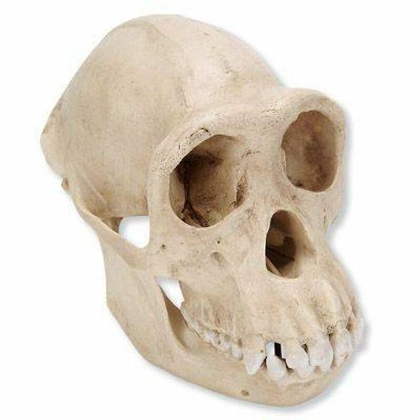 Life-Size Female Chimpanzee Skull Anatomy Model