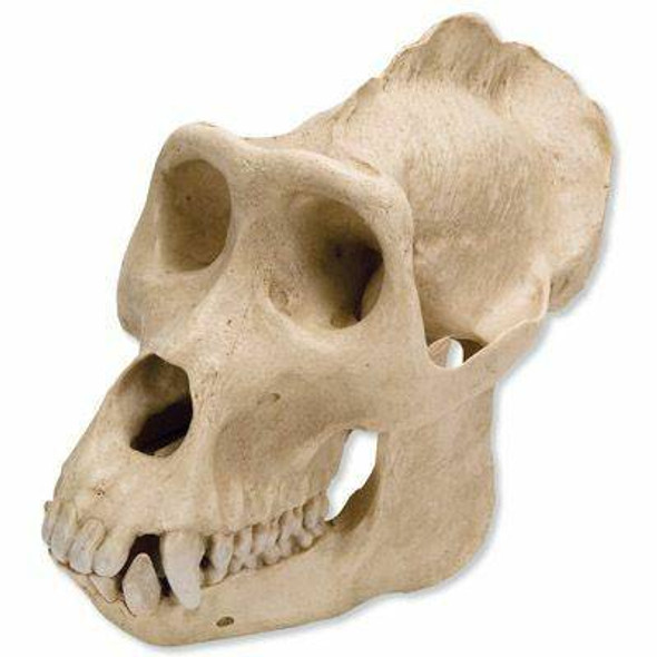 Male Gorilla Skull Anatomy Model 2 Parts
