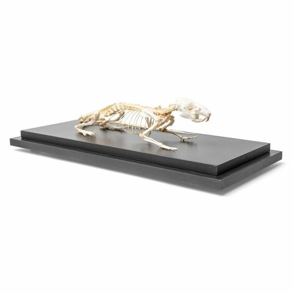Rat Skeleton Natural Specimen Anatomy Model, Articulated