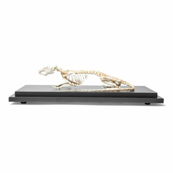 Rat Skeleton Natural Specimen Anatomy Model, Articulated 1
