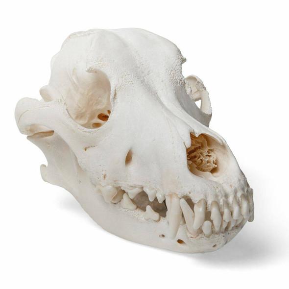 Dog Skull Anatomy Model