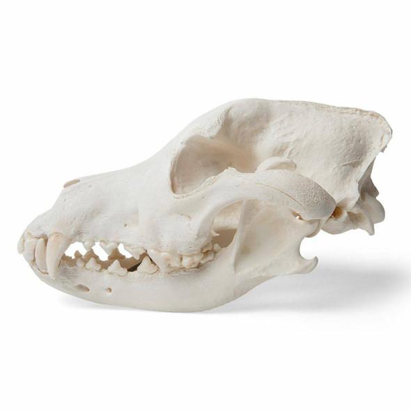 Dog Skull Anatomy Model 1