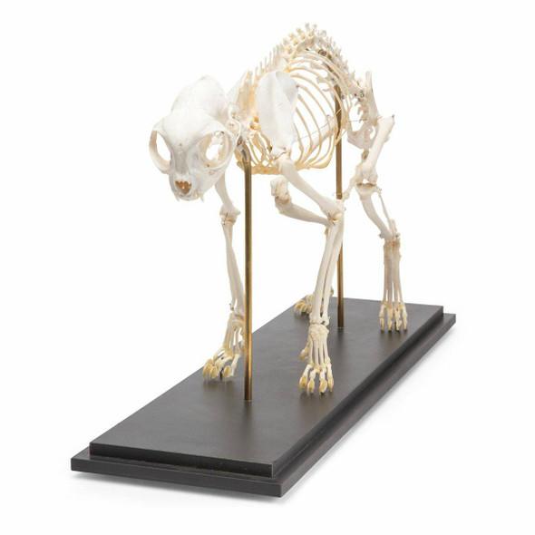 Cat Skeleton Natural Specimen Anatomy Model, Fixed Articulation 1
