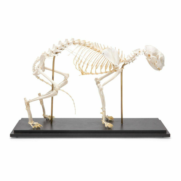 Cat Skeleton Natural Specimen Anatomy Model, Fixed Articulation