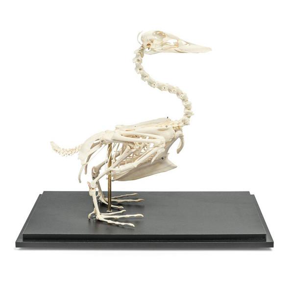 Duck Skeleton Natural Specimen Anatomy Model, Articulated on Base