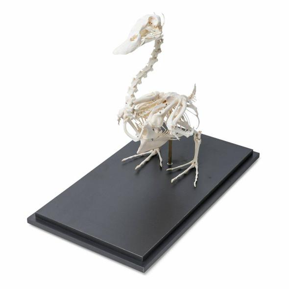 Duck Skeleton Natural Specimen Anatomy Model, Articulated on Base 1