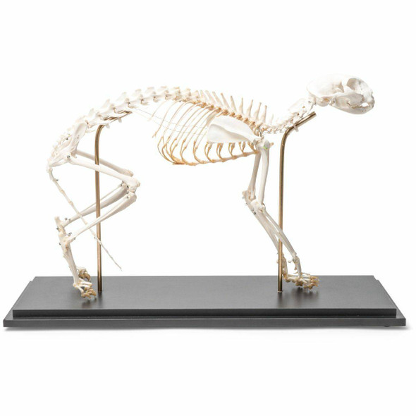 Cat Skeleton Natural Specimen Anatomy Model, Flexible Articulation