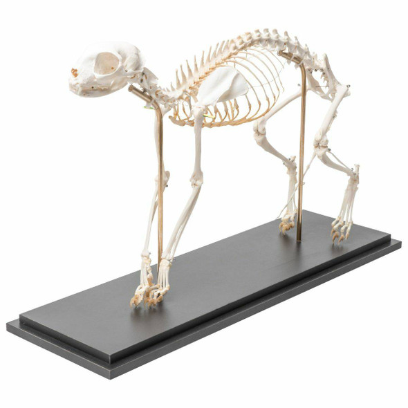 Cat Skeleton Natural Specimen Anatomy Model, Flexible Articulation 1