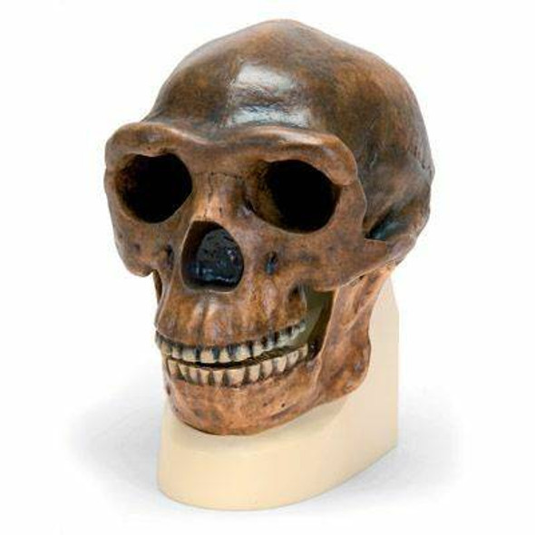 Anthropological Skull Model - Sinathropus