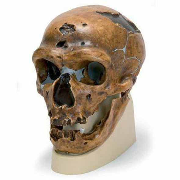 Anthropological Skull Model - La Chapelle-Aux-Saints
