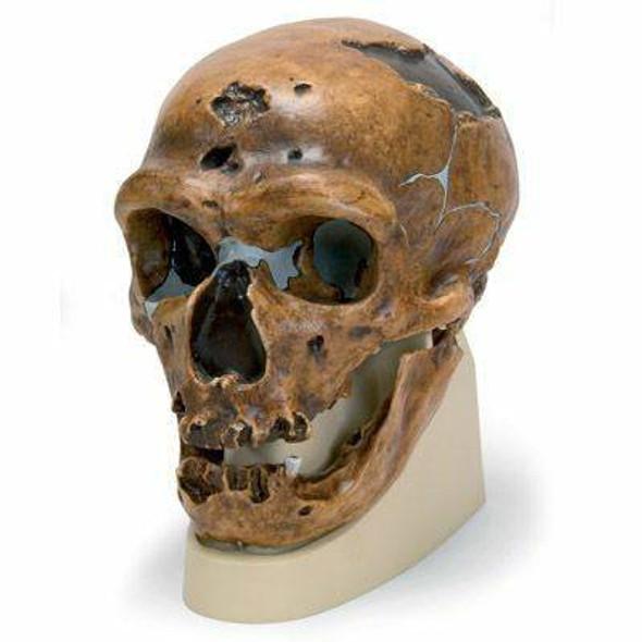 Anthropological Skull Model - La Chapelle-Aux-Saints