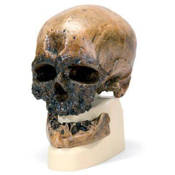 Anthropological Skull Model - Cro Magnon