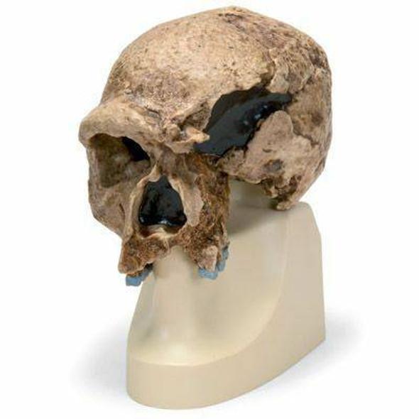 Anthropological Skull Model - Steinheim