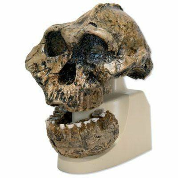 Anthropological Skull Model - Oldaway