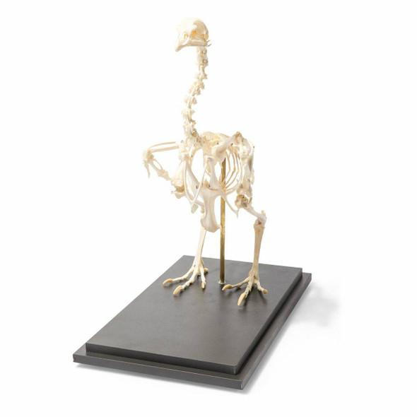 Chicken Skeleton Natural Specimen Anatomy Model, Articulated 1