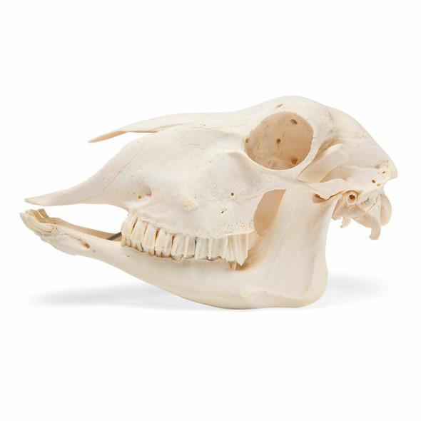 Sheep Skull Anatomy Model 1
