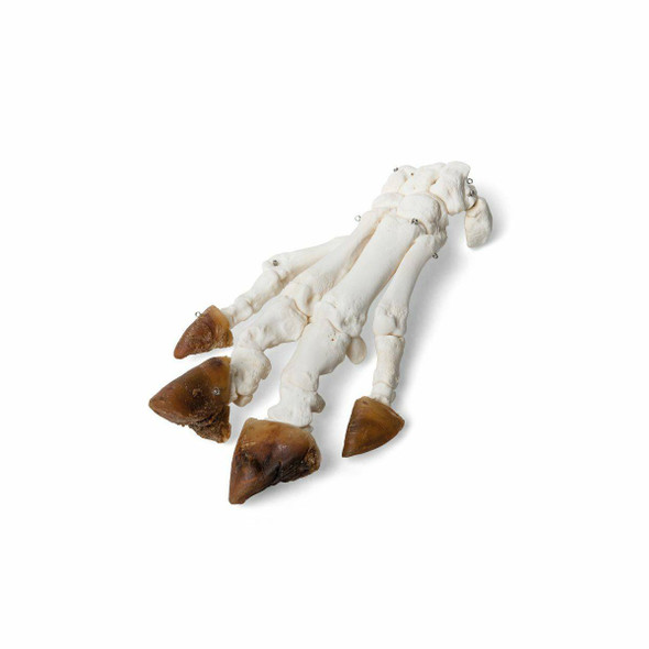 Pig Foot with Hoof Natural Specimen Anatomy Model, Articulated 1