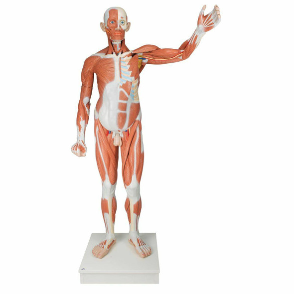 Male Muscular Figure Anatomy Model