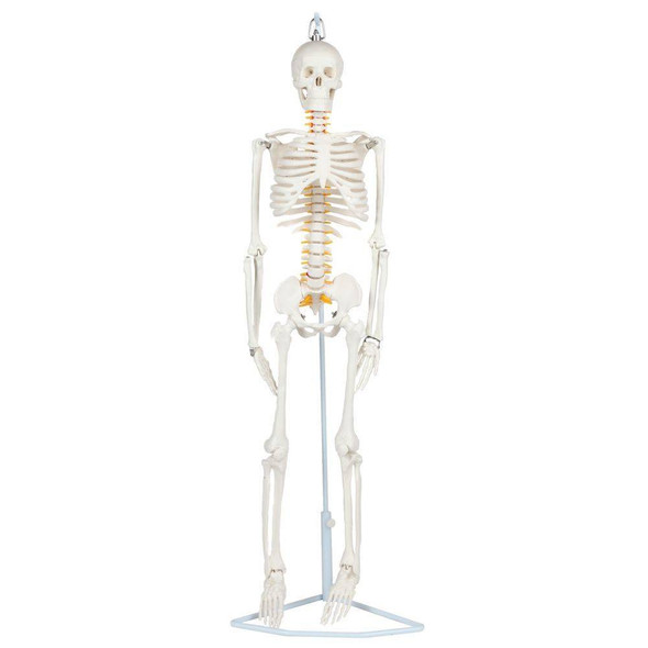 Anatomy Lab Essential Flexible Mini Skeleton