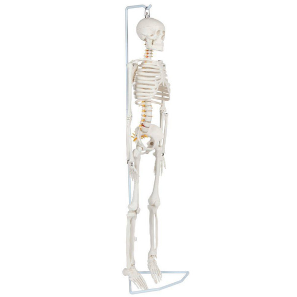 Anatomy Lab Essential Flexible Mini Skeleton 1
