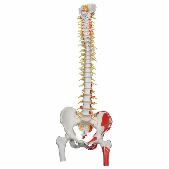 Painted Deluxe Flexible Spine Anatomy Model
