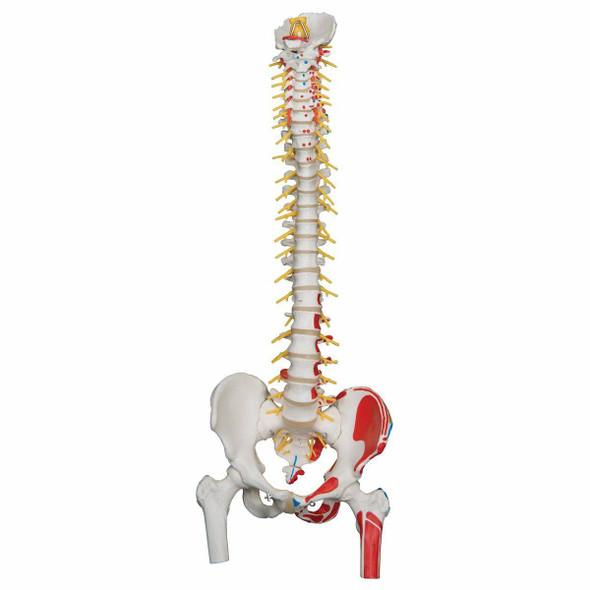 Painted Deluxe Flexible Spine Anatomy Model