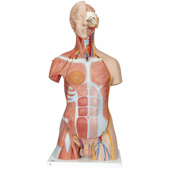 Deluxe Muscle Torso Anatomy Model 31 Parts