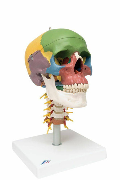 Didactic Human Skull Anatomy Model On Cervical Spine