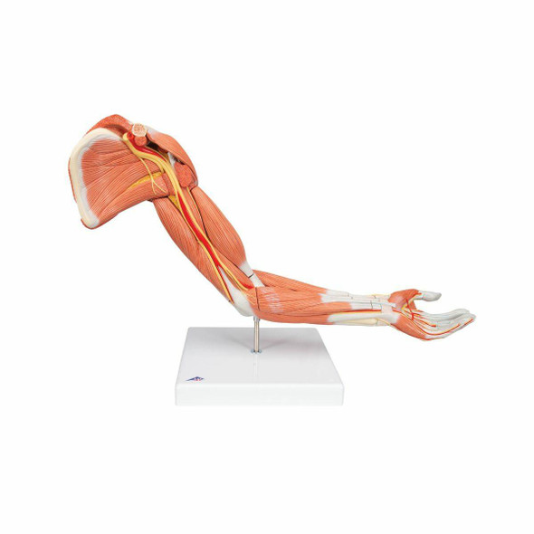 Life-Size Deluxe Muscle Arm Anatomy Model 6 Parts
