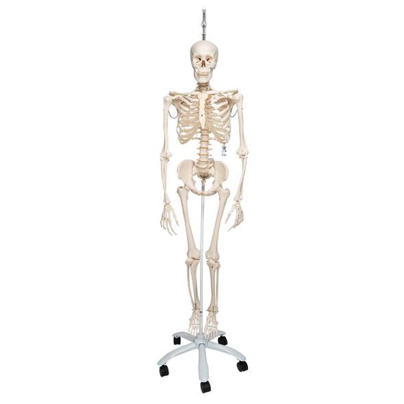 Physiological Skeleton Model - Phil 1