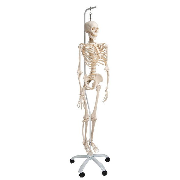 Physiological Skeleton Model - Phil