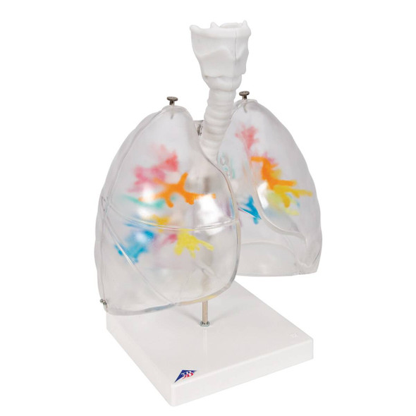 Bronchial Tree Model with Larynx and Transparent Lungs 1