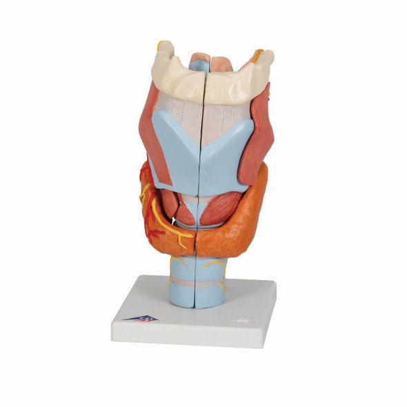 Larynx Anatomy Model 7 Parts