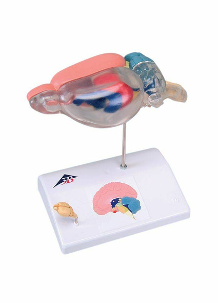 Rat Brain Comparitive Anatomy Model