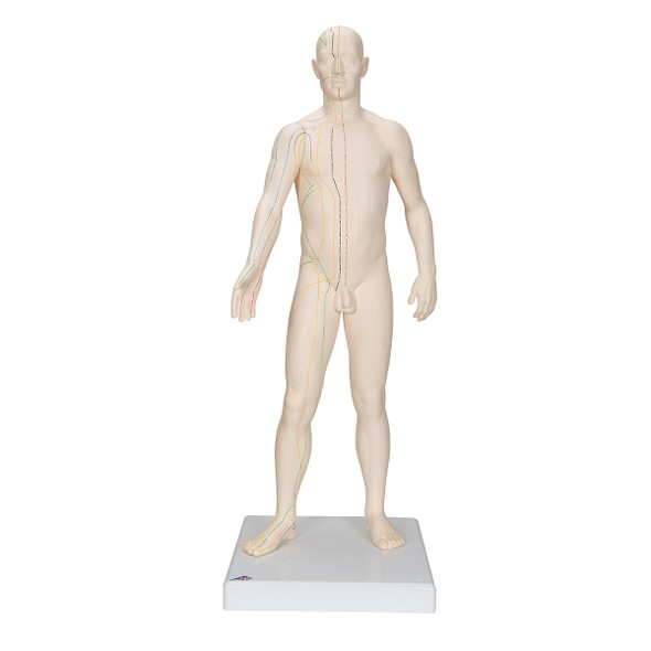 Male Acupuncture Points Anatomy Model frontal view